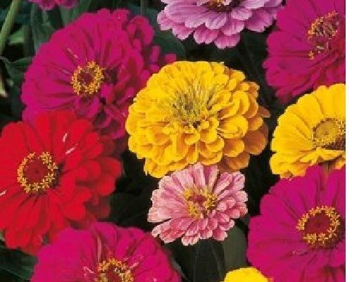 SHIPPED From US,PREMIUM SEED: 70 Particles of Zinnia, Fresh Hand-Packaged