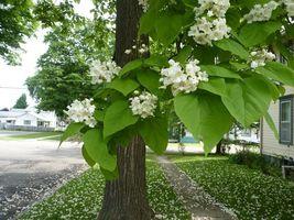 Catalpa Tree image 4