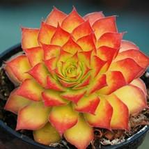 "2"" pot 1 Live Potted Plant sun Gold new orange sempervivum hen chicks Ra... - $31.99"