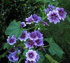7 French Hollyhock Seeds-1192 - $2.98