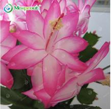 Rare Schlumbergera Bonsai Flower Schlumbergera Zygocactus Truncatus Seed... - $6.05