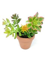 Combo Succulents Plant & 4'' Clay Pot Unique from Jmbamboo - $20.57