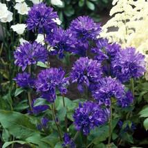 50  Seeds Campanula glomerata ssp krylowii - $8.00