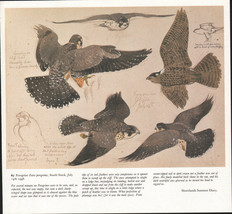 BEAUTIFUL VINTAGE BIRD PRINT ~ PEREGRINE FLYING ~ TUNNICLIFFE - $46.37