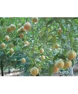 Ceylon Nutmeg Whole With Shell High Quality Organic Herbs Spices Sun Dri... - $8.99