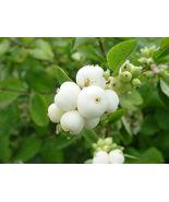 30 Snowberry Shrub, Symphoricarpos albus, Seeds (Fast, Hardy, Ornamental... - $9.71