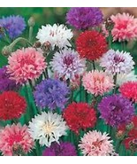 Bachelor Button, Tall Mix Seed, Organic, 500 seeds, Beautiful Bright Blooms - $8.99