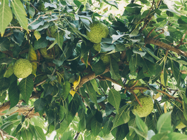 1 Gallon Pot Osage Orange Tree Hedge Apple  - $55.49