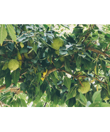 1 Gallon Pot Osage Orange Tree Hedge Apple  - $55.49