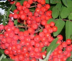 1 American Mountain Ash Tree Seedling Fruit Berry Ornamental Live Plant - $40.00