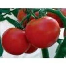 Tomato Rutgers Non GMO Heirloom Vegetable 40 Seeds by Sow No GMO - $3.95