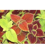 SHIP FROM US 50,000 Coleus Rainbow Mix Seeds, ZG09 - $91.16