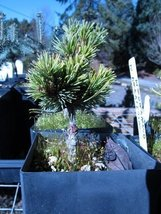 1 Starter Plant of Pinus Parviflora 'Hagoromo Seedling' - $813.78