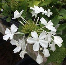 1 STARTER PLANT of Plumbago Auriculata White White Plumbago - $39.60