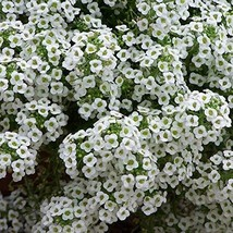 Non GMO Alyssum, Sweet Tall Flower Seeds Lobularia maritima (25 Lbs) - $1,089.94