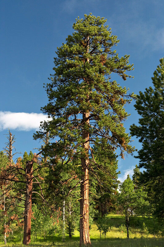 Primary image for 6 Plants Ponderosa Pine or Western Yellow Pine Established Roots