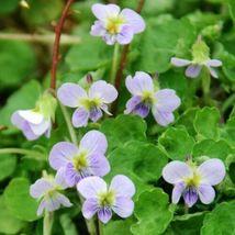 Viola pauanum 10 seeds - $20.99