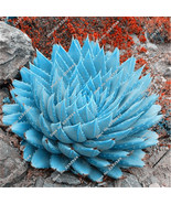 100 Seeds/lot Blue Aloe Vera Seeds, Rare Exotic Courtyard Balcony Potted... - $7.99