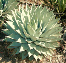 AGAVE PARRYI, rare succulent mescal century plant exotic garden seed 50 ... - $9.99