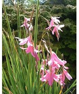 5 Seeds, Fairy Wand Or Angels Fishing Rod Perennial Garden Plants, Afric... - $49.50