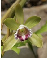 Vanilla kinabaluensis Species LARGE Orchid Plant Blooming Size Species 0... - $47.69