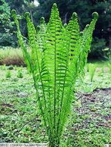 Tennessee Ostrich-Glade fern 5 rhizome bare root image 3