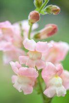 Snapdragon Apple Blossom 200 Flower Seeds - $12.98