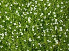 Sagina Subulata Irish Moss 100 Seeds For Home Garden - $11.89