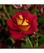 Rosa chinensis red Ketchup And Mustard Rose 20 Seeds Rosa Genus Home Hou... - $2.78