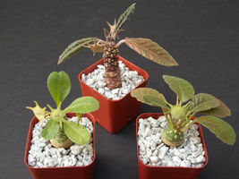 """SHIP From US, 2"""" DORSTENIA COLLECTION VARIETY MIX, succulent plant cacti EC - $66.99"""