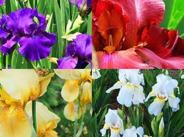 1,2,3,4,5 Large Bulbs Iris - Tall Bearded Red White Purple Beautiful #GRDB5 - $15.50+
