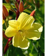 EVENING PRIMROSE 100+ SEEDS ORGANIC NEWLY HARVESTED - $1.00