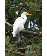 Great Egret 13 x 19 Unmatted Photograph  - $35.00