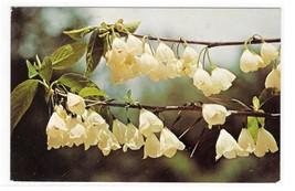 PA Philadelphia Morris Arboretum Silver Bells Flowers Vintage Postcard - $4.99