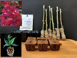 "Rooting Kit 6 Green Bougainvillea ""Scarlett-O-Hara"" Tree Cutting Do it yourself - $43.10"