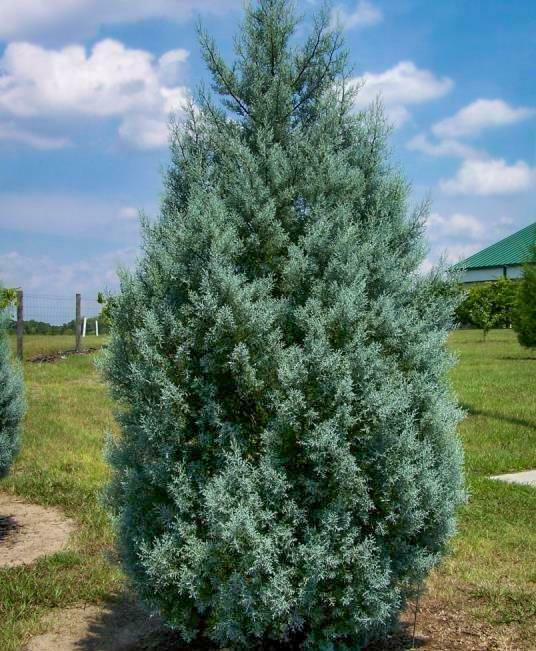 Carolina Sapphire Cypress tree gallon pot