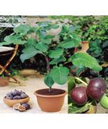 10 Rare Sweet Common Fig Fruit Fresh Tree Seeds, Fig 'Brown Turkey' Flav... - $1.79
