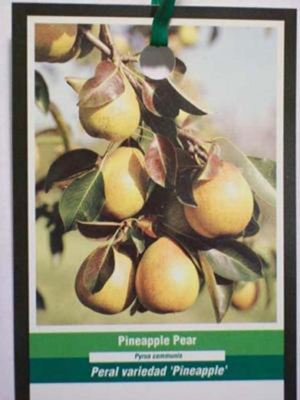 4-6 FT PINEAPPLE PEAR Fruit Tree Pears Plant Trees Now Ship to all 50 States USA - $96.95