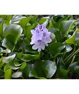 Water Hyacinth Floating Pond Plant - Pond Flower - Koi Pond Plants (3) (... - $19.80