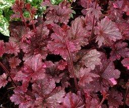 1 BARE ROOT PLANT of Heuchera Midnight Rose, Coral Bells Dark purple - $23.76