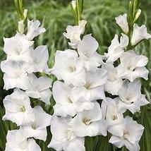 10 Gladiolus Flower Bulbs White Prosperity - $19.80