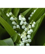 10 Lily of the valley pips bareroots - $18.00