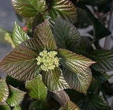 Viburnum 'All That Glows Starter Plant - $54.35