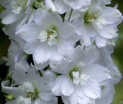 Delphinium Galahad Delphinium Cultorum - 50 Bulk Seeds - $27.95