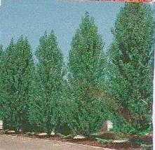 1 Lombardy Poplar Tree, 15+inch, Fast Growing Shade or Fence Line for Ho... - $18.95