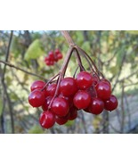 "Viburnum opulus One Highbush Cranberry plant from 6"" to 12"" height Kalin... - $56.00"