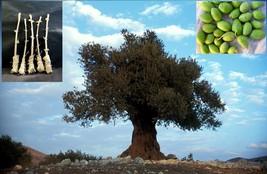 "5 Green Olive ""Souri"" Tree Cutting - $29.70"