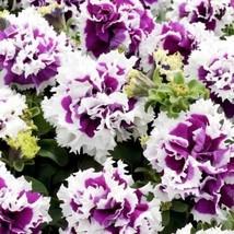 Petunia Pirouette Purple Flower Seeds (Petunia x Hybrida) 20+Seeds - $23.92