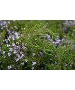 Breath of Heaven (Pink) aka Coleonema pulchrum 'Compacta' Live Plant Fit... - $31.76