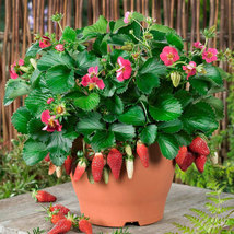 200PCS Four Seasons Potted Strawberry Seeds, Seeds of Fruits and Vegetables - $4.92